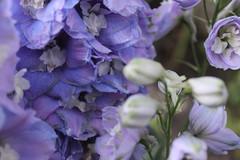 Delphinium (rita_sv) Tags: blue garden spring purple lavender delphinium
