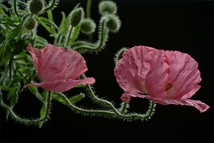 . (me*voil - away) Tags: pink flowers poppies onblack