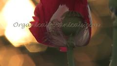Danish Flag Papaver Somniferum Opium POPPY Pods n Flowers by- OrganicalBotanicals_Com 14 (gjaypub) Tags: flowers plants nature silhouette photography pod photos gardening bees seed seeds poppy poppies growing opium pods cultivation papaver somniferum morphine cultivating papaversomniferum 2016 potency poppyhead alkaloids organicalbotanicals