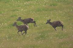 Red Deer in Nairnshire..x (lisa@lethen) Tags: red nature animal scotland stag wildlife deer nairnshire