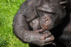 Eating peanuts (greenzowie) Tags: animal mammal zoo edinburgh chimpanzee edinburghzoo 2016 photographyworkshop greenzowie