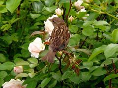 ROSEN KAVALIER (swetlanahasenjger) Tags: deutschland ngc npc sparrow rosen spatz mecklenburgvorpommern sperling coth saariysqualitypictures beirostock coth5 rovershagen erbeerenhof