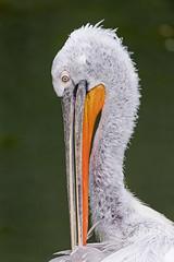 Pelican grooming (Tambako the Jaguar) Tags: grooming pelican white portrait face profile beak zoo dhlhlzli tierpark bern berne switzerland nikon d5