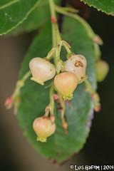 Arbutus unedo L. (Lus Gaifm) Tags: flower macro planta nature natureza flor ericaceae plantae strawberrytree arbutusunedo medronho medronheiro terroso ervedeiro lusgaifm merdios rvodo medronheirocomum cividadeterroso