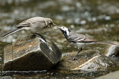 Feeding time (Shane Jones) Tags: bird river nikon feeding wildlife juvenile d500 piedwagtail wagtail tc14eii 200400vr