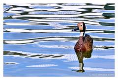 Pato (@amarulero) Tags: life wild reflection bird water animal duck agua pato reflejo refleixo rau9287
