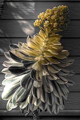 Shades (Brazilfox) Tags: plant flower color macro texture closeup petals shade vegetation hdr culvercity photomatix canonef28135mmf3556is canoneos7d