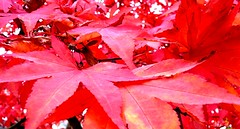 Red Leaves Queenswood Park Hereford #dailyshoot (Leshaines123) Tags: red nature herefordshire hereford dailyshoot oakword