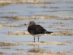 Sooty Gull at Nabq IMG_4639 (grebberg) Tags: sea bird coast gull shoreline sharmelsheikh aves shore february fugl sinai 2012 tidalflat måke nabq ichthyaetus sootygull ichthyaetushemprichii sotmåke