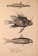 Anglų lietuvių žodynas. Žodis red goatfish reiškia raudona goatfish lietuviškai.