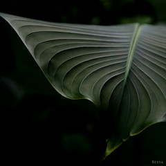 fey (resta-photo) Tags: lignes feuille courbes