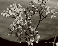 flowers (vito labita) Tags: flowers blackandwhite italy art primavera nature beautiful composition canon photo spring europe italia foto natura sicily fiori sicilia biancoenero trapani alcamo