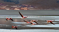 NAR-CL-248 El Pen, Laguna Grande, Andean Flamingos (FO Travel) Tags: mountains southamerica argentina argentine clouds desert flamingo wiese wolken nubes andes desierto bergen nuages flamenco montaas montagnes puna dsert anden amriquedusud  argentinien amricadelsur sdamerika flamantrose