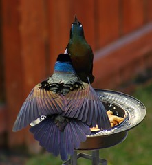 Male Grackle courting Female (alhughes54) Tags: cotcpersonalfavorite