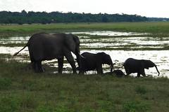 Elephants going for a drink (Joybelle007) Tags: nature nikon elephants botswana chobe wildanimals d80