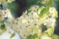 A touch of Spring... (WeeLittlePiggy) Tags: flower tree green texture