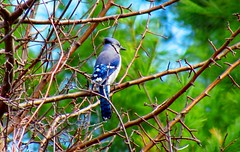 Blue Jay (lil red5 ) Tags: blue trees sky white ontario canada colour tree bird beautiful animal canon outside outdoors pretty bright wildlife gorgeous branches vivid bluejay wildanimal colourful 2011 vividcolours mothernatureatherbest canonpowershotsx30is