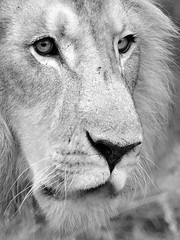 Lion (evideerf2002) Tags: wild animals southafrica bush animaux sauvage afriquedusud