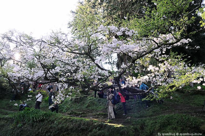 阿里山櫻花季35
