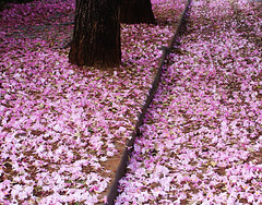 Blawsome! (osvaldoeaf) Tags: pink flowers brazil white tree nature america carpet petals spring floor south blossoms rosa ip goinia gois wonderfulworldofflowers ringexcellence