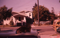 Kitty on Car 1963 (JAVA1888) Tags: 1920s house car architecture cat vintage slide 1950s 1960s kodachrome