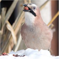 GHIANDAIA - Garrulus Jay (ric.artur) Tags: bird nature nikon natura ali uccelli piemonte animali naturalmente volatili naturae ghiandaia naturaee