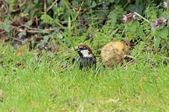 Spanish Sparrow, Calshot, UK (Terathopius) Tags: uk greatbritain unitedkingdom gb calshot canonef100400mmf4556lisusm spanishsparrow passerhispaniolensis canoneos5dmkii nigelvoaden