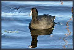Backed by blue (WanaM3) Tags: blue lake reflection water pond texas ripples coot brazosbendstatepark needville avianexcellence 40acrelake
