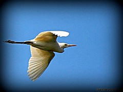 Egret in flight-  Back Home. (cpark188) Tags: bird nature inflight wildlife egret cattleegret birdinflight