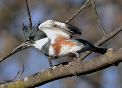 Gotcha...You Clever Girl (Vidterry - Terry Hull) Tags: kingfisher beltedkingfisher femalebeltedkingfisher peregrino27life
