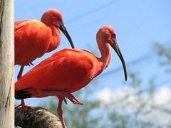 Equilíbrio (Jakza) Tags: gramado natureza guara equilíbrio dois thewonderfulworldofbirds frenteafrente duetos challenge gamewinner