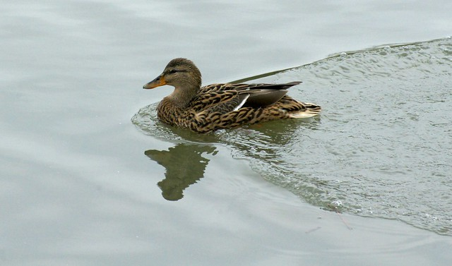 A Female Mallard Duck
