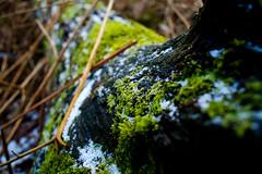 the last breath of winter (Jos Mecklenfeld) Tags: winter snow tree nature netherlands forest mos dof minolta sneeuw nederland natuur boom dynax groningen bos terapel westerwolde konicaminoltadynax5d