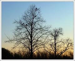 Ja va sent hora d'anar a dormir (shanshin) Tags: trees birds contraluz atardecer lumix evening arboles panasonic arbres pajaros silueta contrallum ocells silhuette capvespre dmztz5 oiceaux