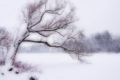 La rvrence (monilague) Tags: winter snow tree ice grass weather project river season day hiver rivire arbre herb glace herbe niege branche saison riviredesmilleles