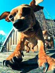 spring fever (III) (redstarpictures) Tags: blue sky dog brown spring klein small himmel fisheye hund paws braun blau pinscher frhling pfoten joschi germanpinscher fischauge samyang tatzen rehpinscher zwergpinscher deutscherpinscher miniaturpinscher