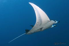 Melainah (Explored) (bodiver) Tags: wideangle manta fins orcadivers