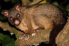 _MG_1722 (daveo12) Tags: athertontableland mthypipamee commonbrushtail