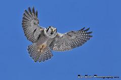 Northern Hawk Owl Hovering DSC_4029 (Ron Kube Photography) Tags: canada bird nature birds fauna nikon hawk raptor alberta owl ornithology birdofprey northernhawkowl surniaulula southernalberta d300s distinguishedraptors ronaldok nikond300s ronkubephotography