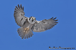Northern Hawk Owl Hovering DSC_4029