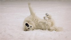 WOO HOO SNOW! (Andromeda Honds) Tags: winter dog snow great canine pyrenees balfour lgd nickalasquire