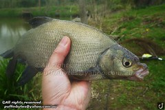 Bream - Abramis brama (puffinbytes) Tags: greatbritain animals unitedkingdom carps bream warwickshire animalia minnows cyprinidae cypriniformes chordates chordata actinopterygii rayfinnedfishes abramis abramisbrama taxonomy:kingdom=animalia taxonomy:phylum=chordata taxonomy:class=actinopterygii taxonomy:family=cyprinidae taxonomy:order=cypriniformes leuciscinae spb:country=uk spb:id=01f5 spb:species=abramisbrama spb:pty=f taxonomy:subfamily=leuciscinae taxonomy:genus=abramis taxonomy:species=brama taxonomy:binomial=abramisbrama taxonomy:common=bream spb:lid=00bx spb:pid=0kbn