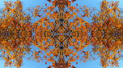 Tangerine Dreaming (Jason A. Samfield) Tags: blue autumn sky orange abstract color colour fall beautiful leaves yellow tangerine outdoors leaf amazing interesting intense colorful branch skies colours afternoon gorgeous branches perspective dream bluesky symmetry autumnleaves clear hues symmetrical fractal blueskies yellows psychedelic hue psychedelia autumnal clearsky skyblue upwards intricate crepemyrtle gorgeousness yellowish orangeish naturescape orangish crapemyrtle clearskies autumnleaf orangecolor orangeleaves tangerinedream selfsimilar crepemyrtles autumnorange orangeleaf selfsimilarity naturalfractal orangehues orangehue symmetries fullofcolor naturescaping orangecolors orangeautumn psychedelically crapemyrtleleaves naturescaped colorfullyorange crapemyrltes crapemyrtlefall crapemyrtleautumn