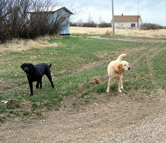 SKSW12d25 Portreeve Dogs, Saskatchewan (CanadaGood) Tags: dog brown canada black color colour building green animal sk prairie saskatchewan 2012 portreeve canadagood clinworth thisdecade
