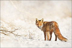 Heading for spring (hvhe1) Tags: winter snow holland nature animal wildlife dunes sneeuw thenetherlands fox predator duinen awd vos hvhe1 hennievanheerden vulpusvulpus amerdamsewaterleidingduinen