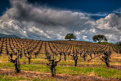 Billowing Horizon (Bowman66) Tags: california trees grass clouds vineyard oak vines nikon hills winery sonomacounty rolling stakes billow glenellen valleyofthemoon highway12 brcohn rmbimages
