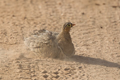 Black-faced Sandgrouse, Pterocles decoratus (jwsteffelaar) Tags: tanzania blackfacedsandgrouse pteroclesdecoratus taxonomy:binomial=pteroclesdecoratus