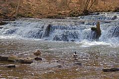 More Waterfall Ducks (+David+) Tags: waterfall ducks mallards corbettsglen allenscreek postcardfalls stuckwood