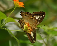 Clipper Butterfly (Parthenos sylvia philippensis) (marmendy mill) Tags: orange flower macro closeup butterfly bug insect photo nikon butterflies lepidoptera essex soe sylvia clipper southwoodhamferrers parthenos tropicalwings philippensis naturesgreenpeace thenaturesgreenpeace allnaturesparadise