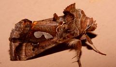 Bilobed Looper Moth – Megalographa biloba (oneryarlys) Tags: texas moth biloba – looper putnams plusia putnami bilobed megalographa mygearandme